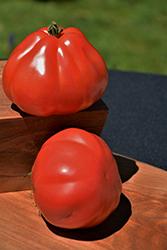 Goldman's Italian American Tomato (Solanum lycopersicum 'Goldman's Italian-American') at Roger's Gardens