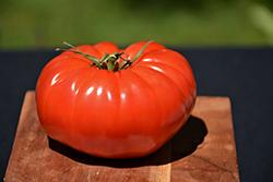 Champion Tomato (Solanum lycopersicum 'Champion') at Roger's Gardens