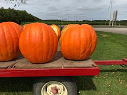 First Prize Pumpkin (Cucurbita maxima 'First Prize') at Roger's Gardens