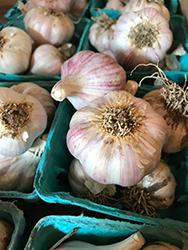 Siberian Garlic (Allium sativum 'Siberian') at Roger's Gardens
