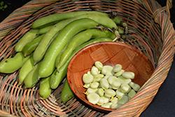 Jumbo Fava Bean (Vicia faba 'Jumbo') at Roger's Gardens