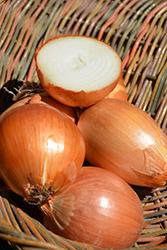Yellow Onion (Allium cepa 'Yellow') at Roger's Gardens