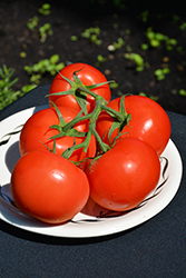 Fourth of July Tomato (Solanum lycopersicum 'Fourth of July') at Roger's Gardens