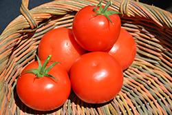 Celebrity Tomato (Solanum lycopersicum 'Celebrity') at Roger's Gardens