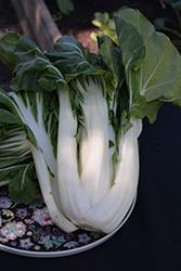White Stem Bok Choy (Brassica rapa var. chinensis 'White Stem') at Roger's Gardens