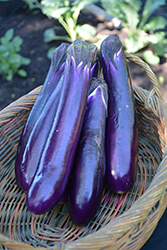 Hansel Eggplant (Solanum melongena 'Hansel') at Roger's Gardens