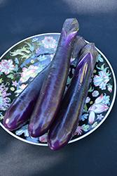 Shikou Eggplant (Solanum melongena 'Shikou') at Roger's Gardens