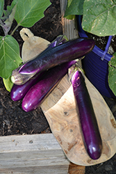 Millionaire Eggplant (Solanum melongena 'Millionaire') at Roger's Gardens