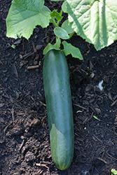 Straight Eight Cucumber (Cucumis sativus 'Straight Eight') at Roger's Gardens