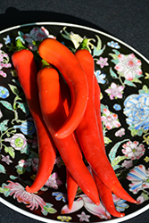 Thai Dragon Pepper (Capsicum annuum 'Thai Dragon') at Roger's Gardens