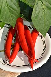 Garden Salsa Hot Pepper (Capsicum annuum 'Garden Salsa') at Roger's Gardens