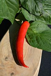 Serrano Tampiqueno Pepper (Capsicum annuum 'Serrano Tampiqueno') at Roger's Gardens