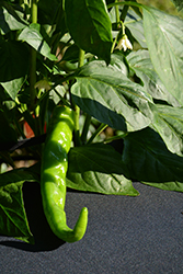 Sweet Cayenne Pepper (Capsicum annuum 'Sweet Cayenne') at Roger's Gardens