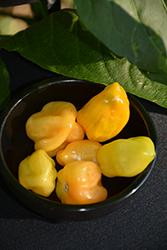 Habanero Mustard Pepper (Capsicum chinense 'Habanero Mustard') at Roger's Gardens