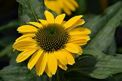 Sombrero Summer Solstice Coneflower (Echinacea 'Balsomsolst') at Roger's Gardens