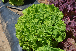 Salanova Green Sweet Crisp Lettuce (Lactuca sativa 'Salanova Green Sweet Crisp') at Roger's Gardens