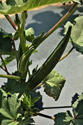 Clemson Spineless Okra (Abelmoschus esculentus 'Clemson Spineless') at Roger's Gardens