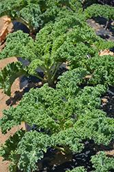 Vates Kale (Brassica oleracea var. sabellica 'Vates') at Roger's Gardens