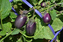 Early Midnight Eggplant (Solanum melongena 'Early Midnight') at Roger's Gardens