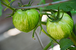 Green Zebra Tomato (Solanum lycopersicum 'Green Zebra') at Roger's Gardens