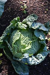 Savoy Ace Cabbage (Brassica oleracea var. sabauda 'Savoy Ace') at Roger's Gardens