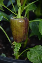 Pinot Noir Pepper (Capsicum annuum 'Pinot Noir') at Roger's Gardens