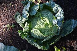 Savoy Cabbage (Brassica oleracea var. sabauda) at Roger's Gardens