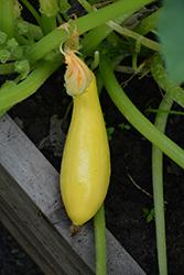 Multipik Squash (Cucurbita pepo var. recticollis 'Multipik') at Roger's Gardens
