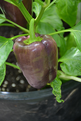 Lilac Sweet Pepper (Capsicum annuum 'Lilac') at Roger's Gardens