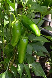 Jalapeno M Hot Pepper (Capsicum annuum 'Jalapeno M') at Roger's Gardens