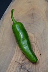 Spicy Slice Hot Pepper (Capsicum annuum 'Spicy Slice') at Roger's Gardens