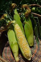 Peaches and Cream Corn (Zea mays 'Peaches and Cream') at Roger's Gardens