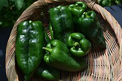 Bastan Pepper (Capsicum annuum 'Bastan') at Roger's Gardens