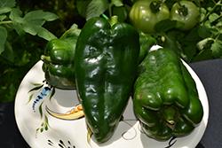 San Ardo Hot Pepper (Capsicum annuum 'San Ardo') at Roger's Gardens