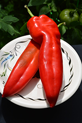 Thor Sweet Pepper (Capsicum annuum 'Thor') at Roger's Gardens