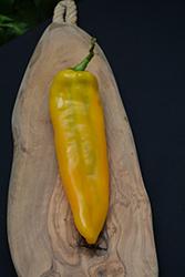 Astor Sweet Pepper (Capsicum annuum 'Astor') at Roger's Gardens