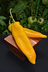 Corno di Toro Giallo Pepper (Capsicum annuum 'Corno di Toro Giallo') at Roger's Gardens
