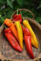 Corno di Toro Pepper (Capsicum annuum 'Corno di Toro') at Roger's Gardens