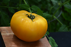 Chef's Choice Yellow Tomato (Solanum lycopersicum 'Chef's Choice Yellow') at Roger's Gardens