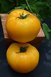 Brandywine Yellow Tomato (Solanum lycopersicum 'Brandywine Yellow') at Roger's Gardens