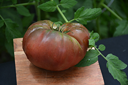 Black Pineapple Tomato (Solanum lycopersicum 'Black Pineapple') at Roger's Gardens