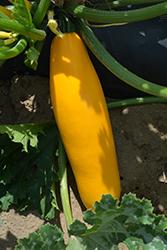 Gold Rush Zucchini (Cucurbita pepo var. cylindrica 'Gold Rush') at Roger's Gardens