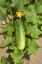 Homemade Pickles Cucumber (Cucumis sativus 'Homemade Pickles') at Roger's Gardens