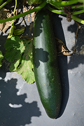 Dark Green Zucchini (Cucurbita pepo var. cylindrica 'Dark Green') at Roger's Gardens
