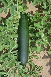 Burpee's Best Zucchini (Cucurbita pepo var. cylindrica 'Burpee's Best') at Roger's Gardens