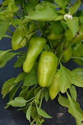 Nassau Pepper (Capsicum annuum 'Nassau') at Roger's Gardens