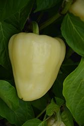 Bianca Pepper (Capsicum annuum 'Bianca') at Roger's Gardens