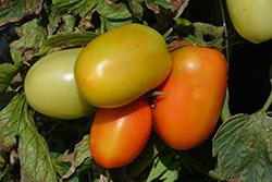 Roma VF Tomato (Solanum lycopersicum 'Roma VF') at Roger's Gardens
