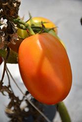 Salsarific Salsa Roma Tomato (Solanum lycopersicum 'Salsarific Salsa Roma') at Roger's Gardens