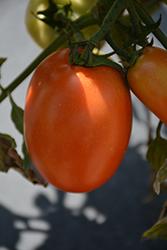 Plum Regal Tomato (Solanum lycopersicum 'Plum Regal') at Roger's Gardens